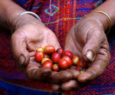 Hands of a Coffee Farmer Showing Red Coffee Beans